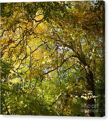 Autumnal Oriental Plane Tree Canvas Print by Tim Gainey