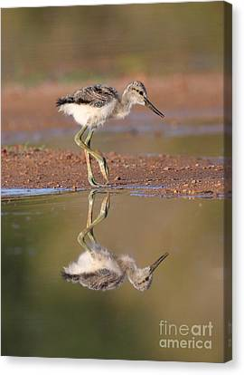 Avocet Chick  Canvas Print by Ruth Jolly