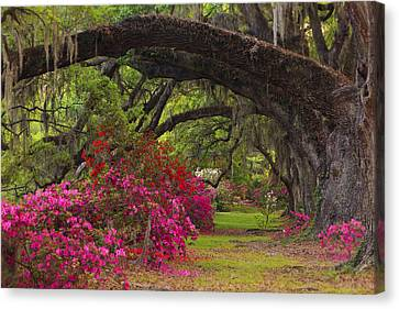 Azaleas And Oaks Canvas Print by Mike Lang