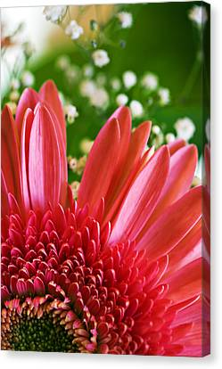 Babies Breath And Gerber Daisy Canvas Print by Marilyn Hunt