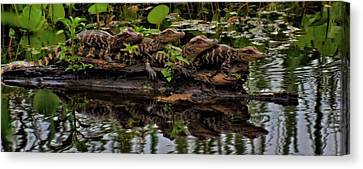 Baby Alligators Reflection Canvas Print by Dan Sproul