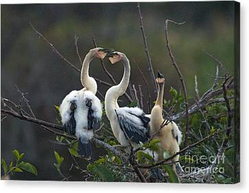 Baby Anhinga Canvas Print by Mark Newman