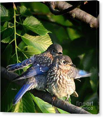 Baby Bluebirds 1 Canvas Print by Nava Thompson