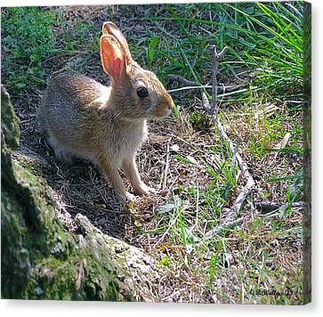 Baby Bunny Canvas Print by Brian Wallace