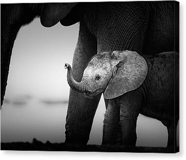 Baby Elephant Next To Cow  Canvas Print by Johan Swanepoel