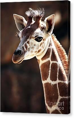 Baby Giraffe Canvas Print by John Rizzuto