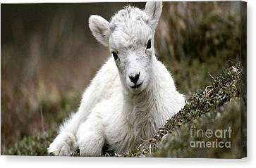 Baby Goat Canvas Print by Marvin Blaine
