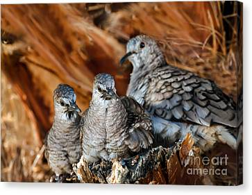 Baby Inca Doves Canvas Print by Robert Bales