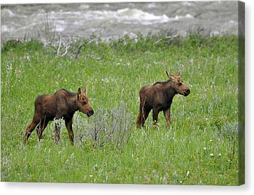 Baby Moose On The Banks Of The Gallatin Canvas Print by Bruce Gourley