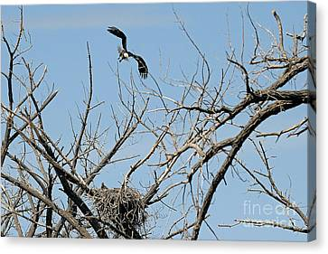 Back To The Nest Canvas Print by Bob Hislop