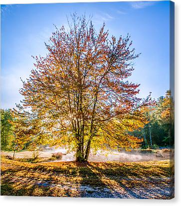 Backlit Maple Canvas Print by Rob Travis