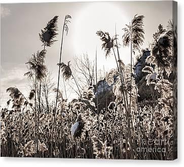 Backlit Winter Reeds Canvas Print by Elena Elisseeva