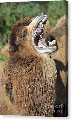 Bactrian Camel Yawning Canvas Print by George Atsametakis