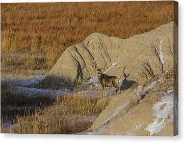 Badlands Buck Canvas Print by Aaron J Groen