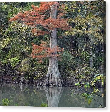Bald Cypress In White River Nrw Arkansas Canvas Print by Tim Fitzharris