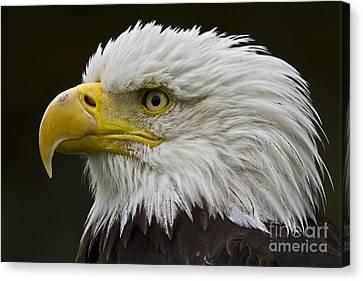 Bald Eagle - 7 Canvas Print by Heiko Koehrer-Wagner