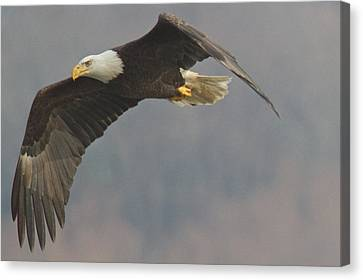Bald Eagle On The Wing Canvas Print by Stanley Klein