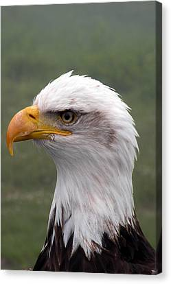 Bald Eagle Portrait Canvas Print by Brian Chase
