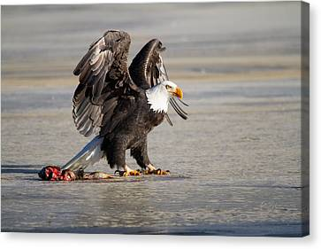 Bald Eagle Protecting His Food  Canvas Print by Eti Reid