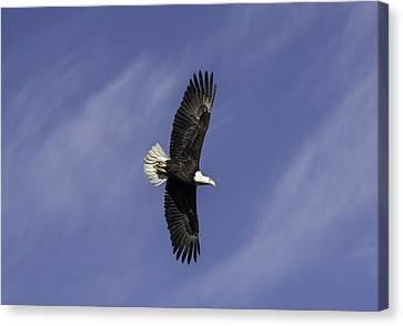 Bald Eagle Canvas Print by Trish Kusal