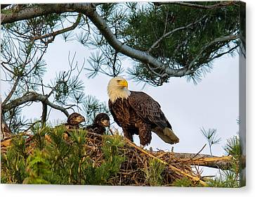 Bald Eagle With Eaglets  Canvas Print by Everet Regal