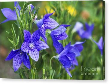 Balloon Flower Canvas Print by Timothy Hacker