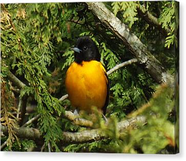 Baltimore Oriole Delight Canvas Print by Brenda Brown