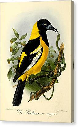 Baltimore Oriole Canvas Print by J G Keulemans