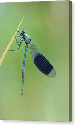 Banded Demoiselle Damselfly Canvas Print by Science Photo Library