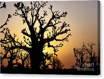 Bandia Baobabs Forest, Senegal Canvas Print by Adam Sylvester