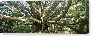 Banyan Tree Stretches In All Canvas Print by Panoramic Images