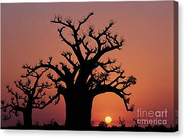 Baobab Tree Against Red Sky Canvas Print by Adam Sylvester