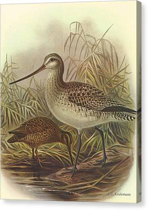 Bar Tailed Godwit And Chatham Island Snipe Canvas Print by J G Keulemans