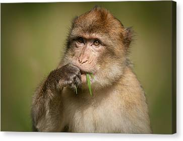Barbary Macaque Canvas Print by Andy Astbury