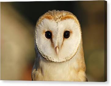 Barn Owl Beauty Canvas Print by Roeselien Raimond