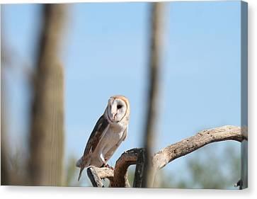 Barn Owl Canvas Print by David S Reynolds
