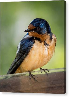 Barn Swallow Canvas Print by Ernie Echols