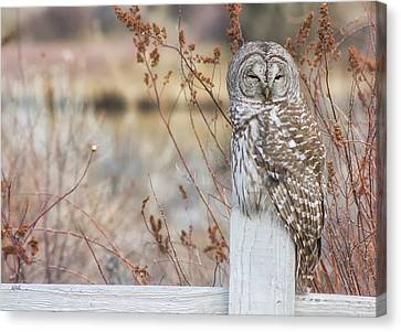 Barred Owl In Bend Canvas Print by Jaime Weatherford