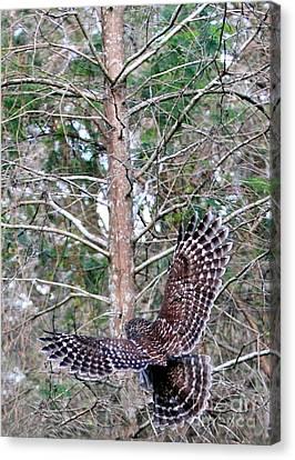 Barred Owl In Flight 2 Canvas Print by Randy Matthews