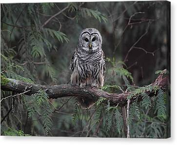Barred Owl Stare Down Canvas Print by Daniel Behm