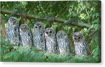 Barred Owlets Nursery Canvas Print by Jennie Marie Schell