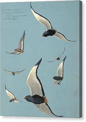Bateleur Eagles Canvas Print by Louis Agassiz Fuertes