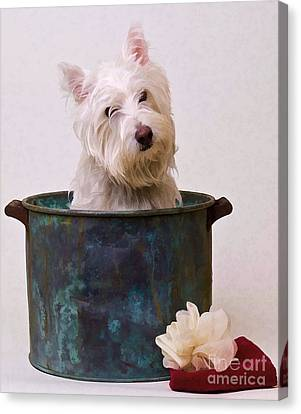 Bath Time Westie Canvas Print by Edward Fielding
