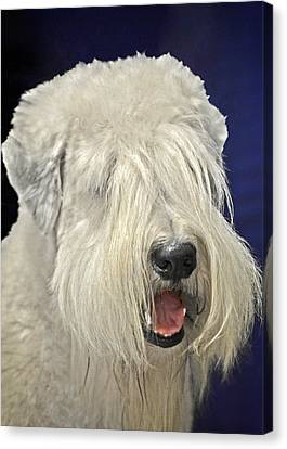 Bearded Collie - The 'bouncing Beardie' Canvas Print by Christine Till