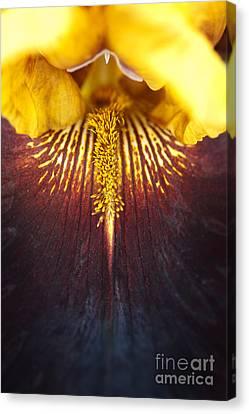 Bearded Iris 'supreme Sultan' Canvas Print by Tim Gainey