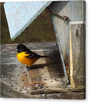 Beautiful Baltimore Oriole Canvas Print by Brenda Brown