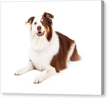 Beautiful Border Collie Laying Down Canvas Print by Susan  Schmitz