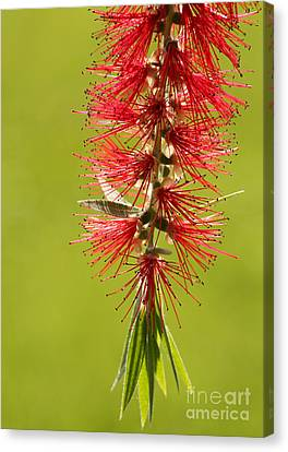 Beautiful Bottle Brush Flower Canvas Print by Sabrina L Ryan