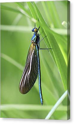 Beautiful Demoiselle Damselfly Canvas Print by Science Photo Library