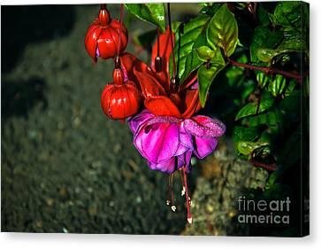Beautiful Fuchsia Canvas Print by Robert Bales